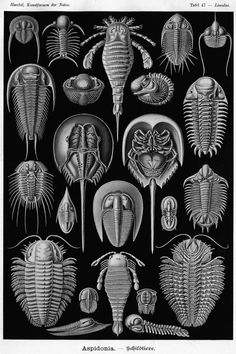 Trilobites (with Eurypterids & Horseshoe Crabs) by Ernst Haeckel ; fossils ; fossil ; scientific illustration