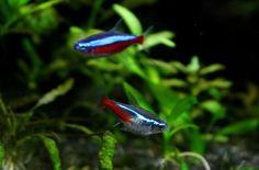 Neon Tetra Fish - The Care, Feeding and Breeding of Neon Tetras ...