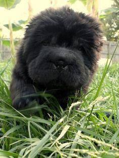 Black Bear Coat Shar pei Puppy