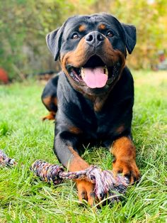 Beautiful Dogs, Animals Beautiful, Search And Rescue Dogs, Rottweiler Love, Corgis, Mans Best Friend, Animals And Pets, Best Dogs, Cute Dogs