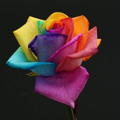 Celebrate Each New Day Beautiful Rose Flowers, Beautiful Flowers Wallpapers, Amazing Flowers, Beautiful Things, Rainbow Flowers, Special Flowers, Taste The Rainbow, Flower Wallpaper, New Day