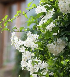 Solanum jasminoides 'Alba' I remember this incredible climber in my parents' garden when I was a girl. It climbed up from a shady spot to completely cover a red brick wall from top to toe in pretty pagoda white flowers.