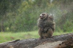 Olive Baboon Shaking off Rain - Laikipia, Kenya