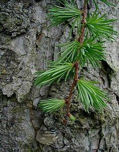 Larix kaempferi, Japanlerk, Pinaceae Furufamilien, LIGNOSE