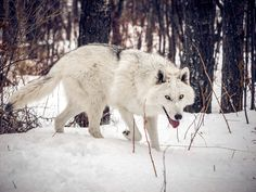 LET THE WOLVES RUN FREE ACCEPT ME FOR MY STRENGTH LOVE ME FOR MY WEAKNESS BE THERE FOR THE GOOD AND THE BAD REMEMBER I WILL NEVER BE WHO YOU WANT ME TO BECOME I AM WHO I AM