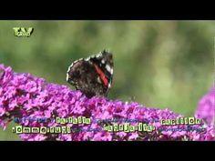 Looking for broadcast footage? Don't shoot! Contact http://www.stockshot.nl/ ©  - kleine vos - aglais urticae - small tortoiseshell - atalanta - admiraalvlinder - Vanessa atalanta - Red Admiral - vlinderstruik - Buddleja davidii - herfstsering - summer lilac, butterfly-bush, orange eye - chmetterlingsflieder, Sommerflieder, Schmetterlingsstrauch, Fliederspeer - arbre aux papillons