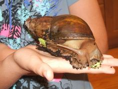 How to Look After a Giant African Land Snail