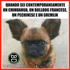 Ora chi ti senti? #bastardidentro #cane #chihuahua www.bastardidentro.it