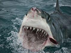 Great White Shark. Slash Attacks! New Zealand. By Lwp Kommunikáció cc2.0 Top Ten Shark Attack Facts. - Fun Facts for Kids