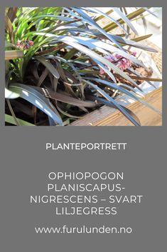 Helt fortryllende vakker plante, hvis du liker mørke farger på plantene i hagen din eller i krukken på verandaen/balkongen. #prydgress #ophiopogonplaniscapus #stauder #hage Portrait, Plants, Headshot Photography, Portrait Paintings, Plant, Drawings, Portraits, Planets