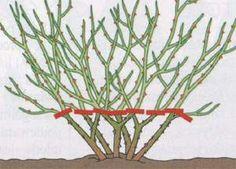 Cięcie krzewów róż pielęgnacja róż związana z cięciem Cięcie krzewów róż, pielęgnacja róż – porady o różach Sad, Garden, Plants, Garten, Lawn And Garden, Gardens, Plant, Gardening, Outdoor