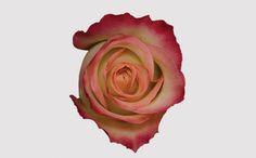 Felicity - Eden Roses - 2016