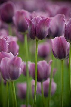 green white Purple Tulips