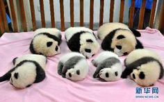 7匹のパンダの赤ちゃん、萌え萌え初公開 日本生まれの優浜も-中国|新華社日本語経済ニュース-XINHUA.JP - 中国の経済情報を中心としたニュースサイト。分析レポートや特集、調査、インタビュー記事なども豊富に配信。