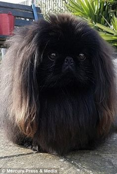 Oliver the Pekingese has been described as a 'Nagging Doubt' lookalike. Griffin Dog, Cute Puppies, Cute Dogs, Pekingese Puppies, Baby Dogs, Doggies, Poodle Grooming, Cute Animal Pictures, Cute Funny Animals