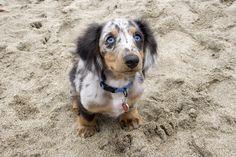 His name is Samson and he is so cute!he's a dapple dachshund.