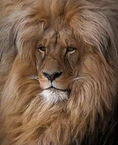 Lion looks like he just had his hair done!
