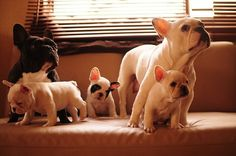 French bull dog family