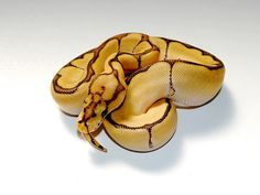 Clown Mojave Spider Vanilla - Morph List - World of Ball Pythons
