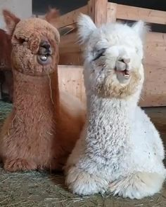 Alpacas chew like Carlton dances - All about the Animals and pets is here Cute Little Animals, Cute Funny Animals, Funny Cute, Cute Dogs, Cute Babies, Baby Animals Super Cute, Cute Animal Videos, Funny Animal Pictures, Baby Animals Pictures