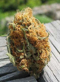 hairy beast found  Legalize It, Regulate It, Tax It!  http://www.stonernation.com Follow Us on Twitter @StonerNationCom