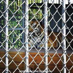"""""I've done my sentence but committed no crime."" #tiger #tigers #captivetigers #louisiana #tigertruckstop #freetonytiger"""