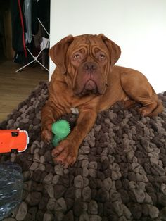 I'm a big boy now! Dogue de bordeaux 7 months puppy