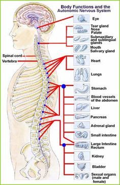 Chiropractic therapy to free the nervous system and detoxification organs of stress