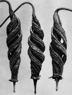 Cajophora lateritia, (Loasaceae), Chile nettle, seed capsules by Karl Blossfeldt. Karl Blossfeldt, Spirals In Nature, Inspiration Artistique, Fotografia Macro, In Natura, Seed Pods, Natural Forms, Natural Structures, Natural Wonders