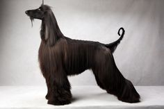 Ryder the Afghan Hound at the Westminster Dog Show. (Photo: Fred R. Conrad/The New York Times)