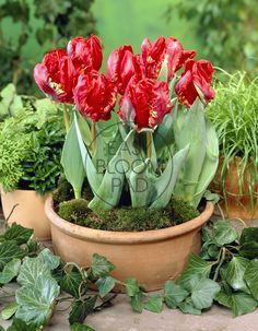Brighten Winter With Bloom Pads Breathtakingly beautiful tulip! Rococo Parrot Tulips look like the gorgeous flowers in an old Dutch Master's painting, so they have to be challenging to plant and grow, right? Rococo, Tulips, Succulents, Bloom, Garden Ideas, Plants, Easy, Tulip, Succulent Plants