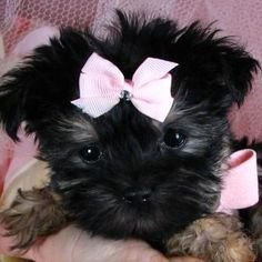 Maltese Yorkie...what a beautiful little girl!