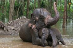 The Asian or Asiatic elephant (Elephas maximus) is the only living species of the genus Elephas and is distributed in Southeast Asia from India in the west to Borneo in the east. Asian elephants are the largest living land animals in Asia.    Since 1986, Elephas maximus has been listed as endangered by IUCN as the population has declined by at least 50% over the last three generations, estimated to be 60–75 years.