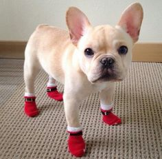 French bulldog....look at those little booties!!!!!