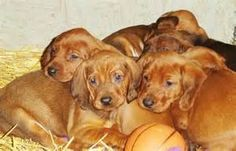 redbone coonhound dog puppies - Bing Images