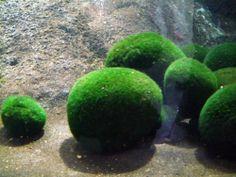 Amazon.com: Moss Ball (Cladophora Aegagrophila) 2 Inch (5 cm) Live Aquarium Plant: Patio, Lawn & Garden
