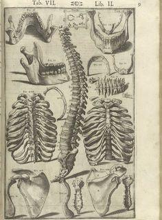 """f7e0851f91 prettyskeletons: """"Giulio Cesare Casseri, Anatomical illustrations from De  humani corporis fabrica libri decem."""
