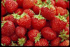 Mesabi Strawberry (Fragaria 'Mesabi') at Shelmerdine Garden Center