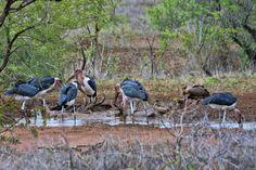 South Africa - Kruger Park (164) Marabou Storks and a White Backed Vulture