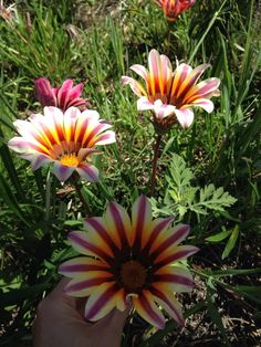 Gazania Hybrid (gazania): Your plant likely belongs to the Gazania genus of which there are many hybrids. It is  prized for its colorful display of daisy-like floral color in late spring-early summer. Needs full sun and moderate to regular water.