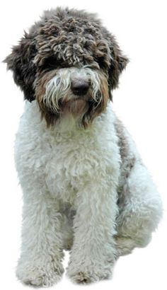 Lagotto - this sweet little breed will be mine someday.
