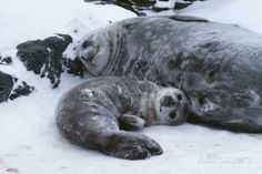 Weddell Seal Mother with Pup Photographic Print by Doug Allan at AllPosters.com