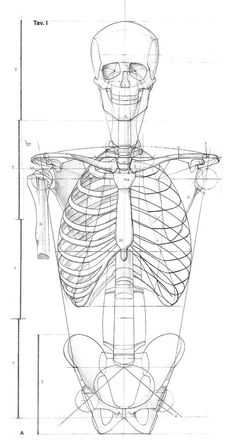 Exceptional Drawing The Human Figure Ideas. Staggering Drawing The Human Figure Ideas. Human Figure Drawing, Figure Drawing Reference, Anatomy Reference, Anatomy Bones, Anatomy Art, Body Anatomy, Skeleton Drawings, Human Anatomy Drawing, Anatomy Sketches