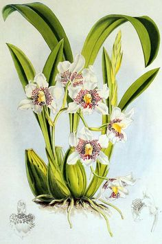 gazophylacium:  Watercolor by Walter Hood Fitch.