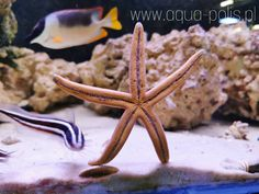 "Linckia guildingii Sea Starfish Rozgwiazda . . . #aquapoliswalbrzych #aquarium #starfish…"" Octopus, Calamari, Squidbillies, Octopuses"
