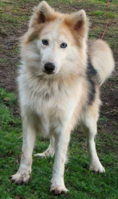 Siberian Husky & Collie Mix