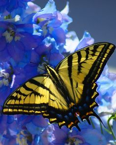 Dual tailed tiger swallowtail on a delphinium