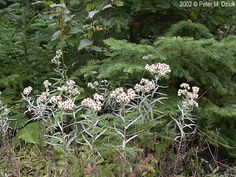 Photos and information about Minnesota flora - Pearly Everlasting: numerous small flat clusters of ¼ to white globular flowers with a yellow to brown center Cherry Hill, Minnesota Wild, Growing Flowers, Wildflowers, Warriors, Pear, Flora, Garden, Plants