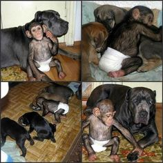 A Cane Corso and her litter of pups adopted this chimp who was abandoned by it's mother at a zoo in Russia. He had no trouble finding acceptance in another tribe!