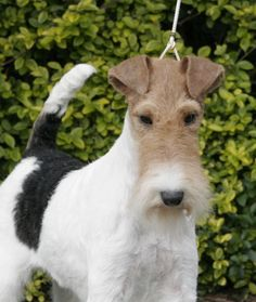 Wire Hair Fox Terrier